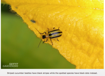 Phenomenal Guide To Vegetable Garden Pests Identification And Organic Home Interior And Landscaping Eliaenasavecom