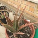 Tips on Treating Wilting Aloe Vera Plants