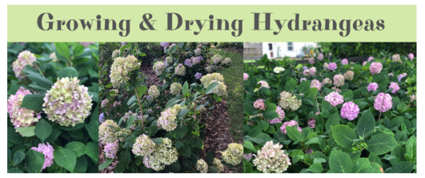 Growing And Drying Hydrangeas
